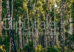 Birch Grove in Sunlight
