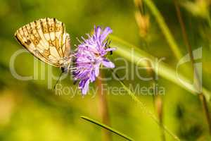 marbled white butterfly on Knautia