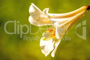 Regal lily with flower, medieval symbol and medicinal plant