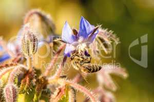 bee on flower of a borage
