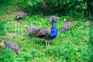 Peacock flock on lawn.