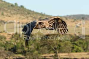 African white-backed vulture flies over wooded savannah