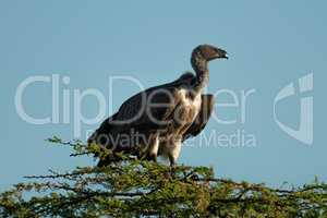 African white-backed vulture perches atop leafy tree