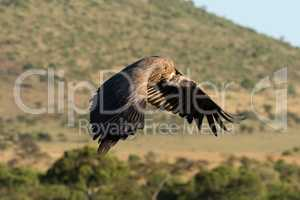 African white-backed vulture flies over grassy hillside