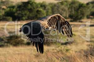African white-backed vulture flies over long grass