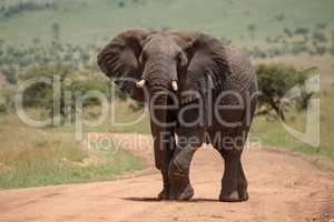 African elephant raises foot while crossing track