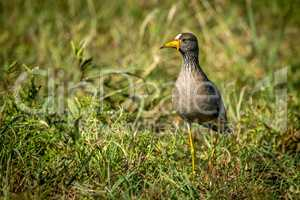 African wattled lapwing in grass eyeing camera