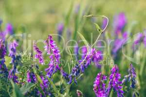 Beautiful purple bird vetch flowers.