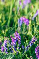 Beautiful purple cow vetch flowers.
