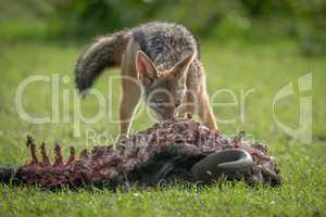Black-backed jackal feeds on carcase of wildebeest