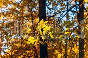 Yellow maple foliage