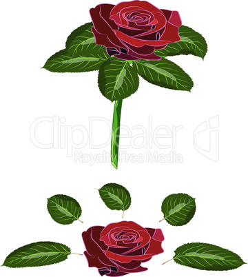 Flowers rose, scarlet buds and green leaves with stem. Isolated on white background. Vector illustration.