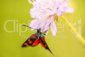 six-spot burnet on a flower of a field scabious