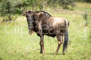 Blue wildebeest missing horn stands watching camera