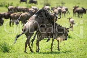 Blue wildebeest mating in grass near herd