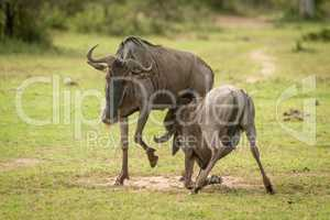 Blue wildebeest calf suckles from unwilling mother