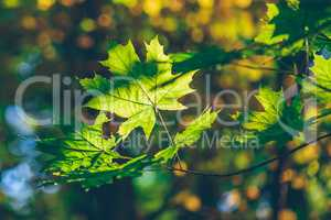 Green maple foliage