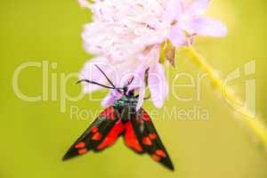 six-spot burnet on a flower of a field scabious