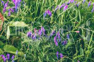 Beautiful purple tufted vetch flowers.