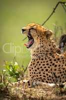 Close-up of cheetah lying yawning by bush