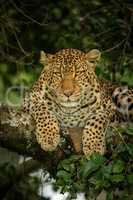 Close-up of leopard lying hunched on branch