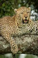 Close-up of leopard lying snarling on branch