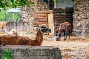 Red and furry alpaca in a farm.