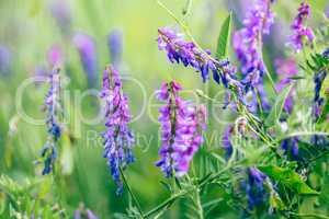Beautiful purple boreal vetch flowers.