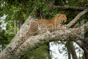 Leopard rests on lichen-covered branch dangling tail