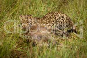 Leopard lies with kill in long grass