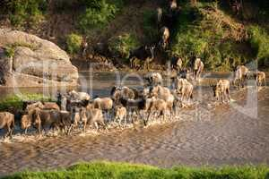 Confusion of blue wildebeest crossing shallow river