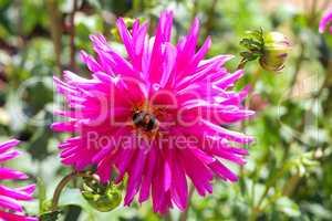 Bumblebee drinks nectar on a dahlia flower