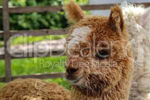 Brown funny alpaca looks into the camera on a green field