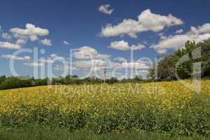 Cultivated yellow colorful raps field in Germany