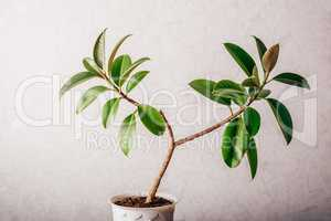 Ficus plant in white pot
