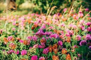 Meadow of Clover Flowers.