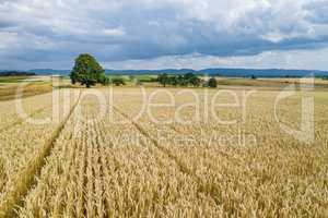 grain field landscape in the summer