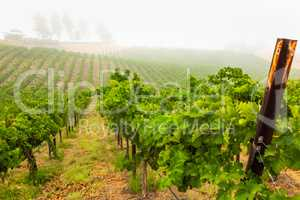 Beautiful Wine Grape Vineyard In The Morning Sun