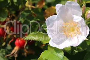 Hagebuttenfrüchte mit Blüte