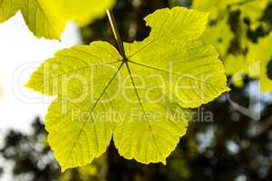 maple leaf back light