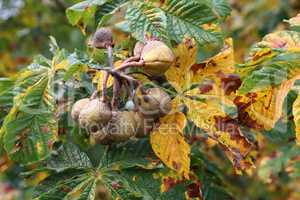 Horse Chestnut tree infested with leaf miner moth trails