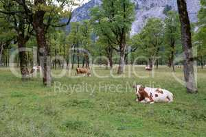 Cows graze on green Alpine meadows high in the mountains