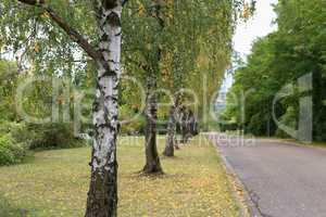 Autumn landscape - Birch alley in autumn time