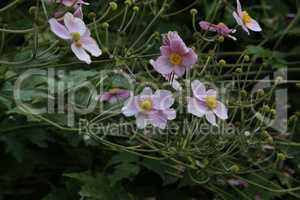 Lovely Anemone Hupehensis Japonica flowers also known as Rosenschale