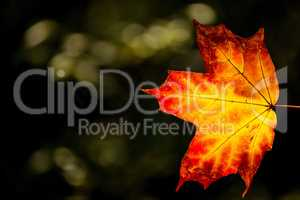 maple leaf in autumnal colors in back light