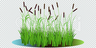 Reed bushes in the swamp vector illustration transparent background. Cartoon props and landscape decoration