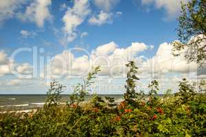 Baltic sea coast in autumn with planting of potato roses
