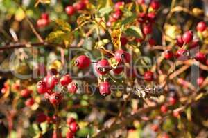Briar, wild rose hip shrub in nature