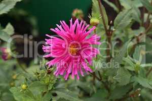 Magenta Color Dalia Flower In The Park