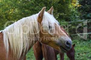 beautiful haflinger horse head portrait on the paddock